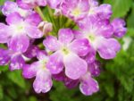 紫と白のバーベナ